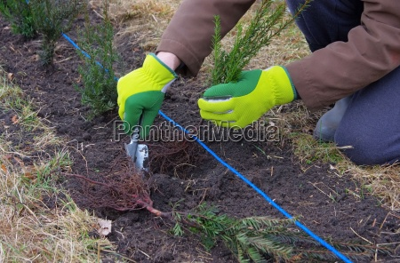 heak plant yew plantning en taxhedge