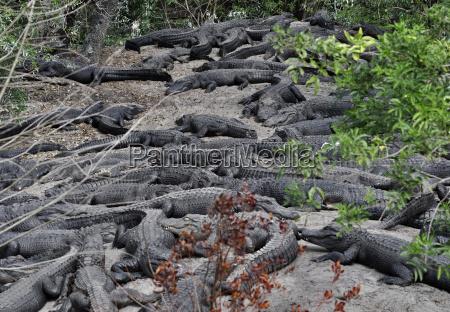 taender jaeger alligator fang sand rover