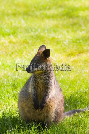 swamp eller black wallaby