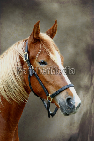 miljo hest dyr portraet heste aedle