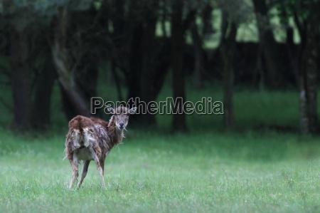 dyr wildlife rehe rogn skov natur