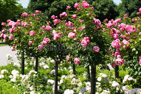 rose stick med lyserode roser