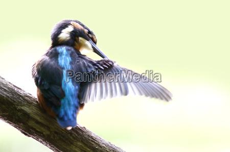 kingfisher alcedo atthis