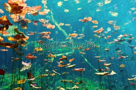lily, puder, i, cenote, aktun, ha - 9730438