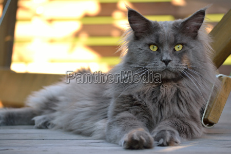 grey maine coon house cat