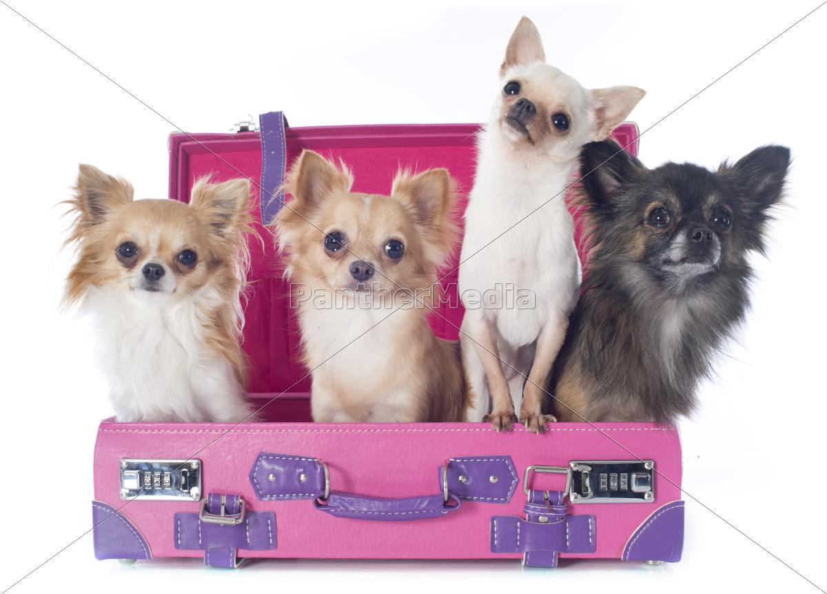 chihuahuas, i, kuffert - 10007214