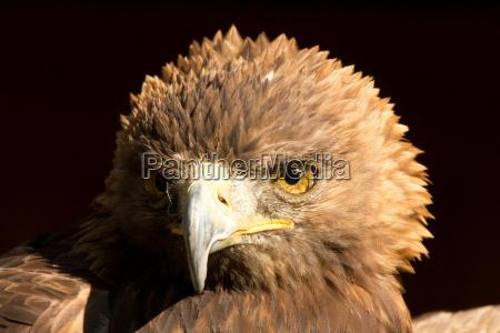 eagle - 10099514