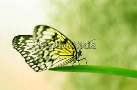 insekt sommerfugl mol bug skadedyr gul