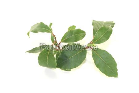 fresh green laurel