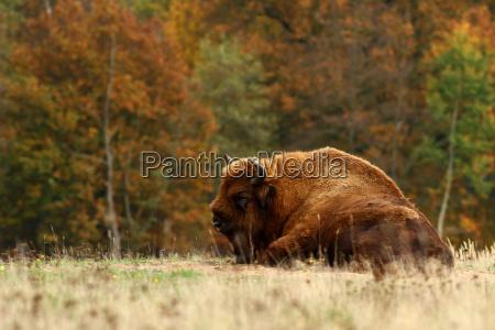 dyr usa amerika buffalo bison