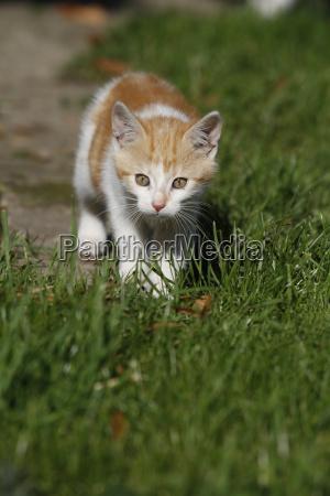 red white kitten