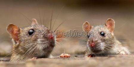 rotter rattus