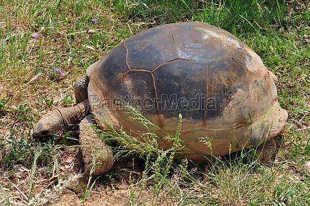 aldabra kaempe skildpadde fodring pa graes