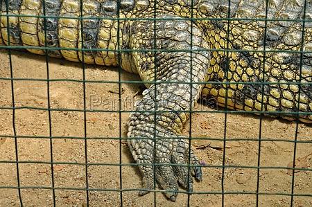 krokodille i fangenskab