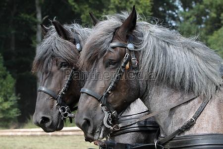 hest heste forspand koldblodede dyr