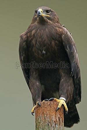 steppeornen aquila nipalensis