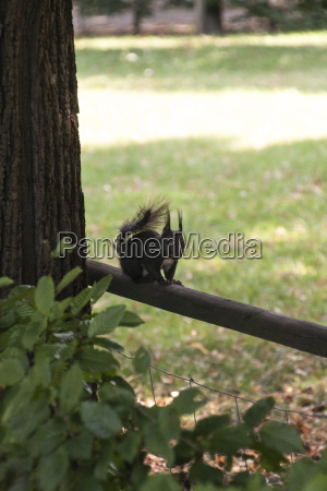 sort egern med hvidt bryst fra