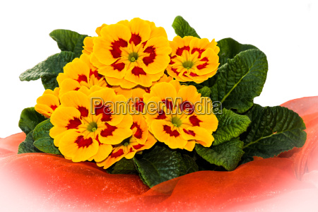 beautiful yellow primroses