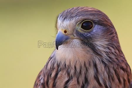 miljo portraet falk rovfugl tarnfalk natur