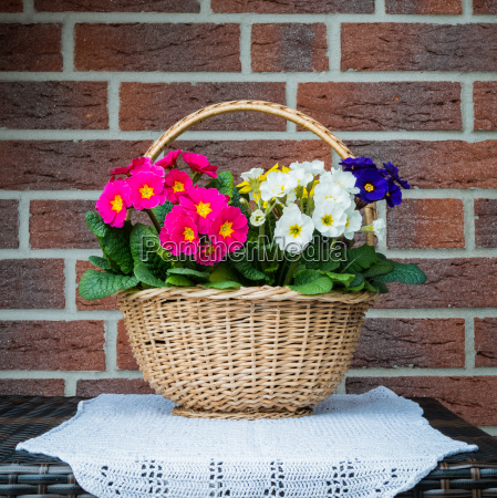 primroses in the basket on the