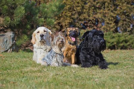 dyr husdyr kaeledyr portraet hund billede