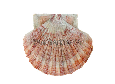 kammusling shell