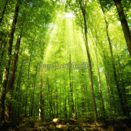sunbeams in the beech forest