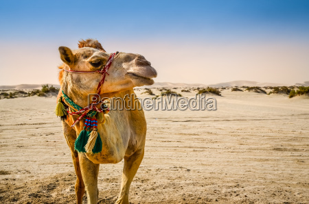 kamel staende i orkenen kigger vaek