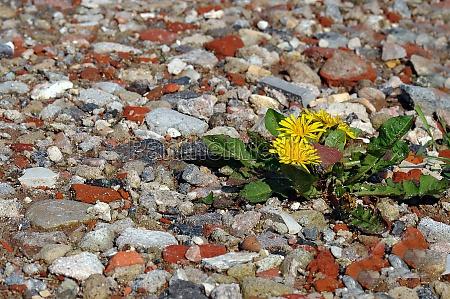 dandelion on gravel road