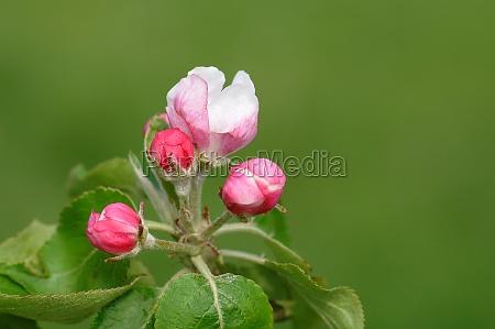 apple, blossom - 11528169