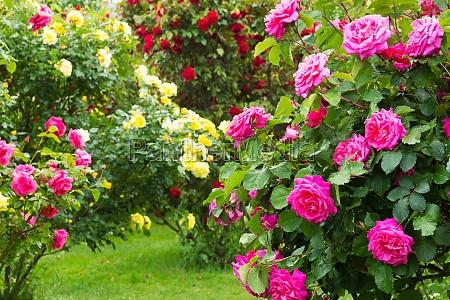 rosenbusk
