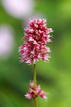 blomst plante vaekst staude wiesenknoeterich pink