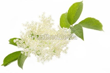 elderflower pa en hvid baggrund
