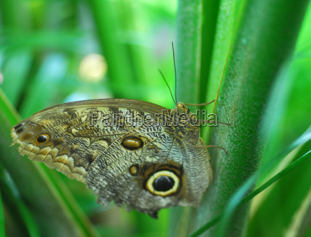 brown butterfly insect