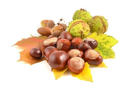 kastanje og acorn