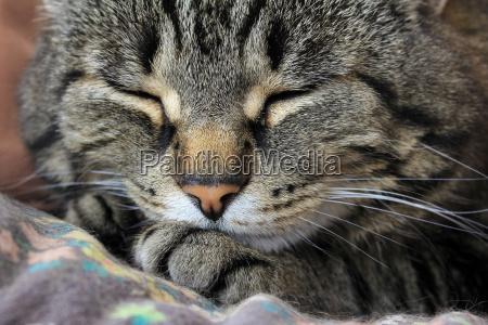 en sovende kat