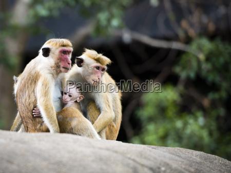 familie af rode faced makakaber i