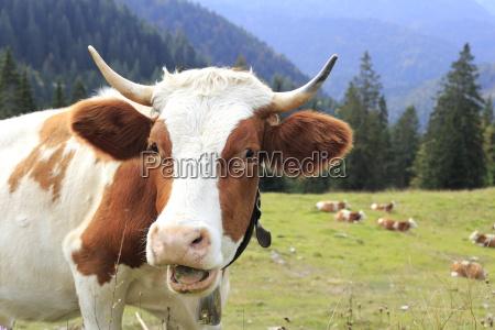 witty cow portrait