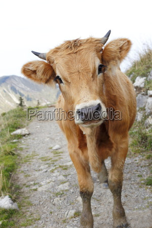 brown calf