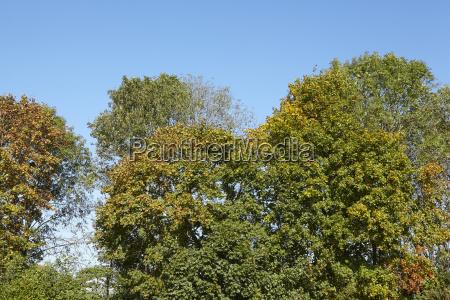breddede skovkroner ved skovkanten