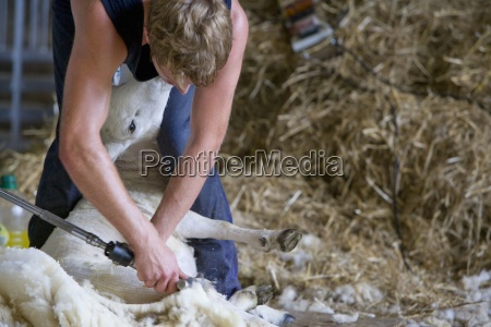 young farmer shearing sheep for wool