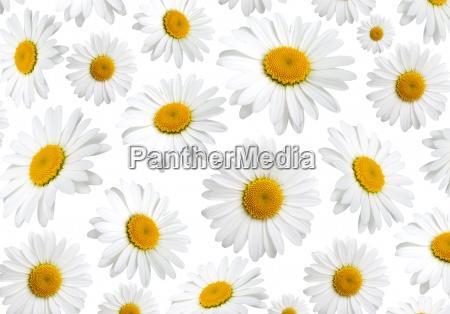 kamille blomster tekstur pa en hvid