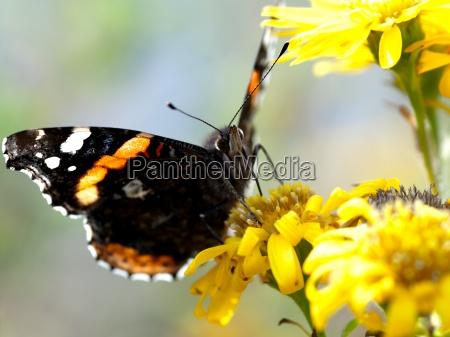 sommerfugl pa gul blomst