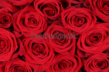 baggrund rod roser til valentinsdag eller