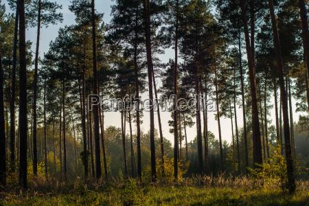 trae aften aftenlys naletrae clearing skov
