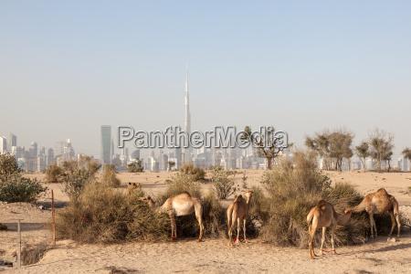 camels in the desert of dubai