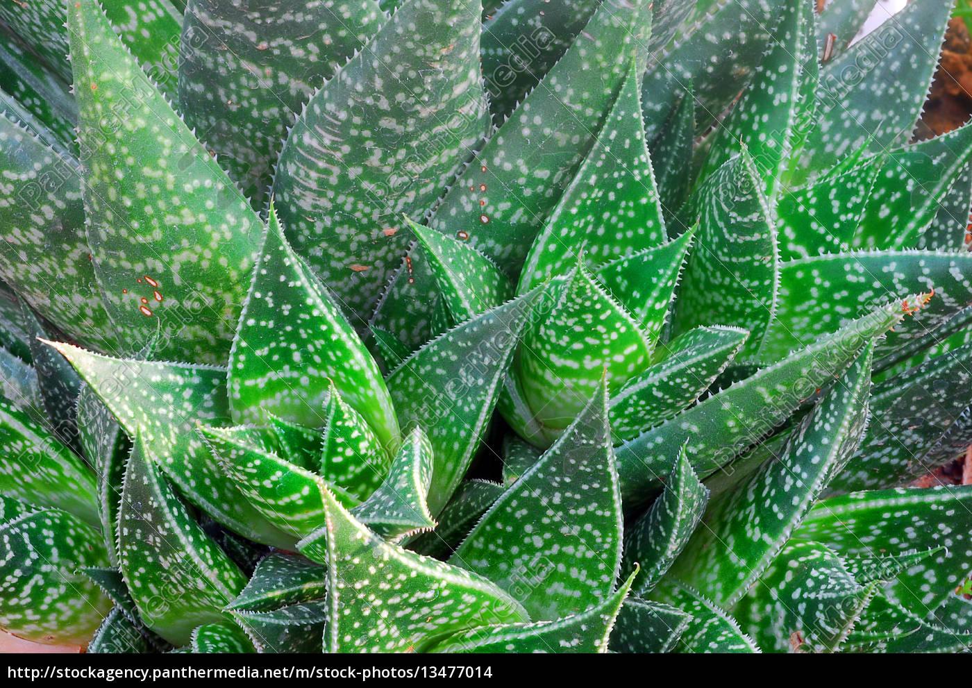 aloe, succulent, plante - 13477014
