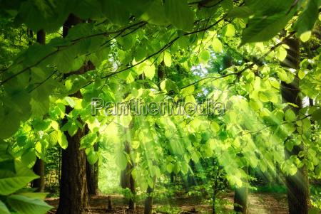 beams through fresh beech leaves