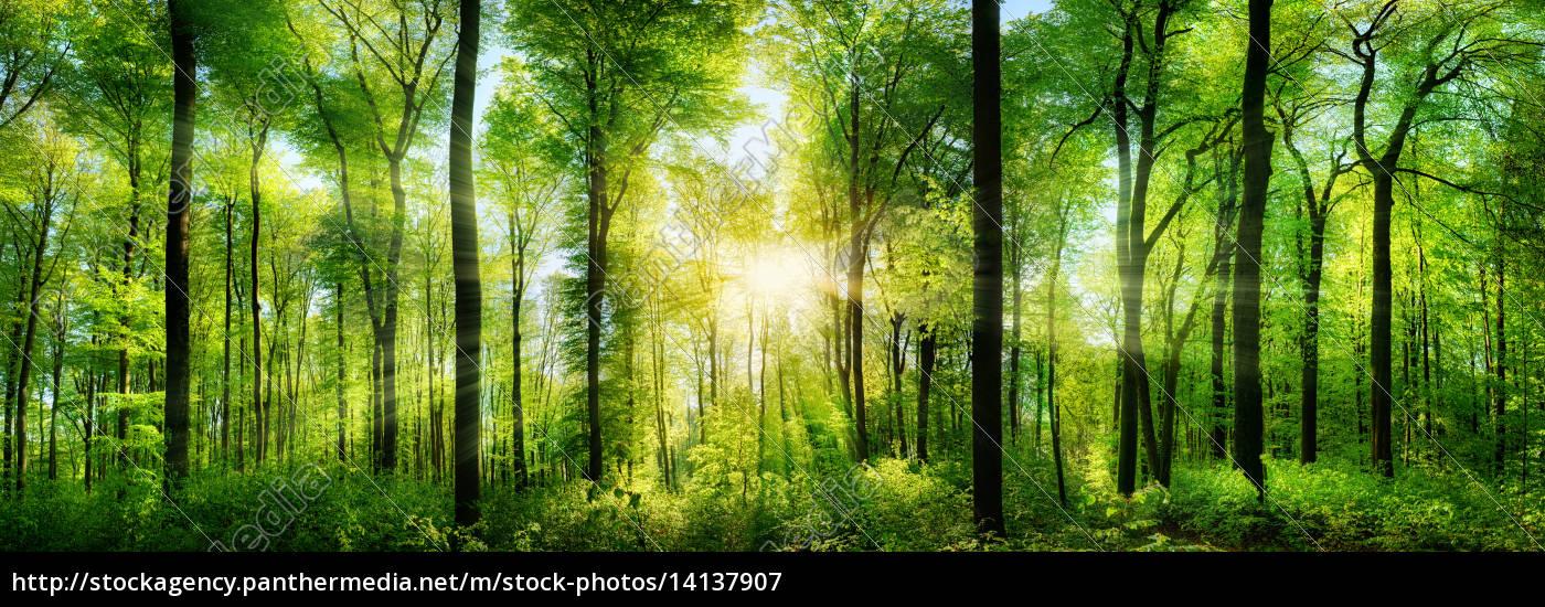 waldpanorama, med, solstrålerne - 14137907