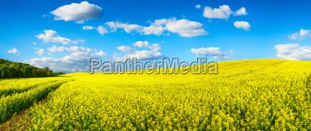 blomstrende rapsfeld panorama